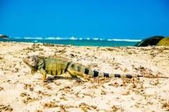 Iguana na plaży w parkowym obywatelu Tayrona, Kolumbia - Fotografia Stock