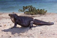 Iguana na praia Fotografia de Stock