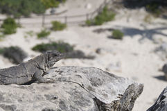 Iguana na rocha morna, fundo da praia Fotografia de Stock