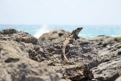 Iguana na skałach obraz royalty free