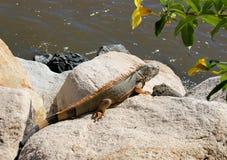 Iguana na skałach Zdjęcia Royalty Free