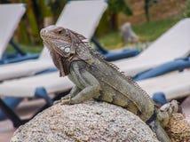Iguana na skale Obraz Stock