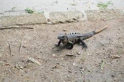 Iguana na terra Foto de Stock Royalty Free