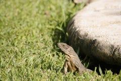 Iguana na trawie w Isla Mujeres zdjęcia royalty free