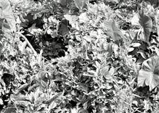 Iguana na vegetação tropical em preto e branco Foto de Stock Royalty Free