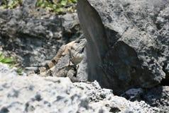 Iguana nascondentesi Fotografie Stock Libere da Diritti