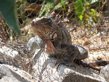 THE IGUANA. IS NATIVE OF LATIN AMERICA OF TROPICAL ZONE LIVES IN TREES FEED OF FRUITS Royalty Free Stock Image