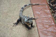 Iguana Natura, zwrotniki, Karaiby, Jukatan, Mexic Obrazy Stock