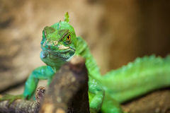 Iguana in the nature Stock Images