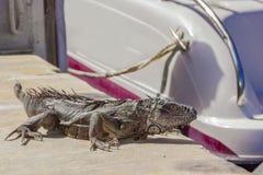 Iguana near boat Royalty Free Stock Images