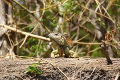 Iguana near Brackish water in costa rica Royalty Free Stock Photography