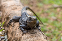 Iguana negra Imagen de archivo