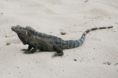 Iguana negra, similis de Ctenosaura fotografía de archivo
