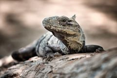 Iguana nego. Iguana negro lying on the branch royalty free stock photography