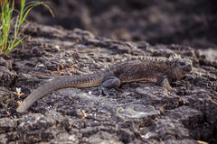 Iguana nel Galapagos Fotografia Stock Libera da Diritti