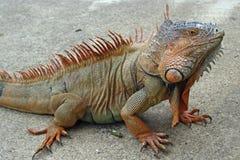 Iguana nel selvaggio Fotografia Stock Libera da Diritti