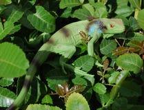 Iguana nel selvaggio fotografie stock