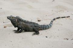 Iguana nera, similis di Ctenosaura Fotografia Stock