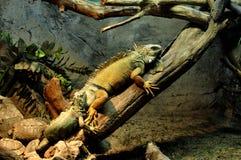 iguana niektóre żółwie Fotografia Stock
