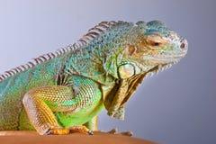 Iguana no azul Fotos de Stock Royalty Free