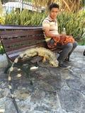 Iguana no banco de parque, Equador foto de stock royalty free