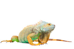 Iguana no branco Foto de Stock Royalty Free