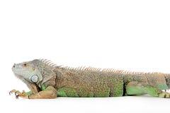 Iguana no branco Fotografia de Stock