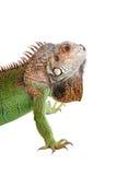 Iguana no fundo branco Imagens de Stock