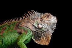 Iguana no fundo preto Imagens de Stock Royalty Free