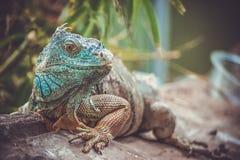 iguana no jardim zoológico foto de stock