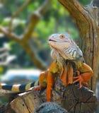 Iguana no jardim zoológico Fotos de Stock Royalty Free