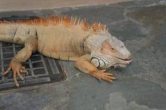 Iguana no jardim zoológico Foto de Stock Royalty Free