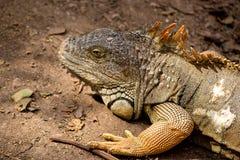 Iguana no jardim zoológico em Argentina imagem de stock royalty free
