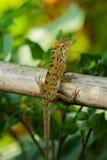 Iguana no ramo Fotografia de Stock Royalty Free