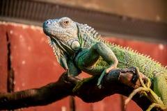 Iguana no ramo fotos de stock royalty free