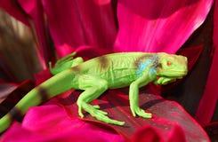 Iguana no selvagem Fotografia de Stock Royalty Free