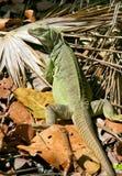 Iguana no selvagem imagens de stock royalty free
