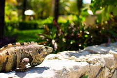 Iguana no sol Fotografia de Stock