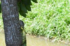 Iguana nos animais selvagens Imagens de Stock Royalty Free