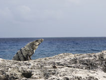 Iguana by the ocean Royalty Free Stock Image
