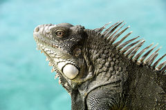 Iguana with ocean background. Royalty Free Stock Photos