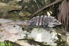Iguana od morza karaibskiego zdjęcia stock