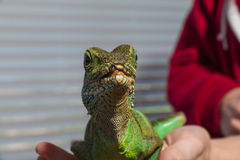 Iguana Odpoczywa W palmie Obrazy Royalty Free