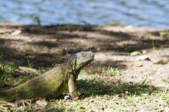 Iguana odpoczywa w trawie, Yumka Parkowy Meksyk, Tabasco, Villahermosa Obrazy Stock