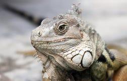 Iguana. Royalty Free Stock Images