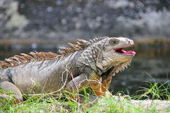 Iguana with open mouth Stock Photos