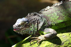Iguana with opened mouth Stock Photo