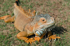 Free Iguana Orange Wild Male Lizard Tropical Exotic Animal Close Up Trinidad And Tobago Royalty Free Stock Image - 90063866