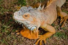 Free Iguana Orange Wild Male Lizard Tropical Exotic Animal Close Up Trinidad And Tobago Square Royalty Free Stock Images - 90063979