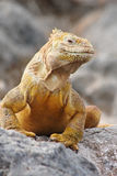 Iguana orgulhosa Imagens de Stock